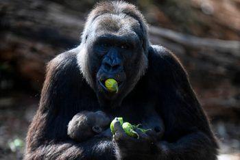 <p>Belo Horizonte. Beschützt: Gorilla-Dame Imbikümmert sich im Zoo der brasilianischen Stadtrührend um ihr Baby.</p>