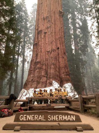 Sequoia. Gewaltig: Zum Schutz vor Waldbränden bringen Feuerwehrmänner eine Folie am Stamm des 2300 bis 2700 Jahre alten General Sherman Trees an. Im Vergleich zu dem Mammutbaum wirken die Männer winzig. Fotos: AFP, AP, APA