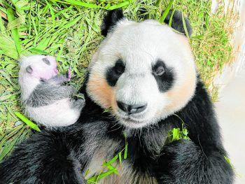 <p>Singapur. Süß: Im südostasiatischen Stadtstaat ist die Freude über den ersten dort geborenen Pandanachwuchs groß.</p>