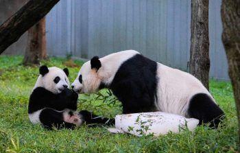 <p>Washington, D.C. Niedlich: Panda-Junges Xiao Qi Ji mit seiner Mutter Mei Xiang im Zoo der US-Metropole.</p>