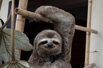 """<p>San Antonio de Los Altos. Gerettet: Faultier """"Chuwie"""" erlitt bei einem Unfall mit einer Stromleitung schwere Verbrennugnen und in einem Venezolanischen Zoo wieder aufgepeppelt.</p>"""